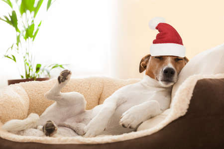 dog having a relaxing siesta in living room with red santa claus hat or hood for christmas holidays