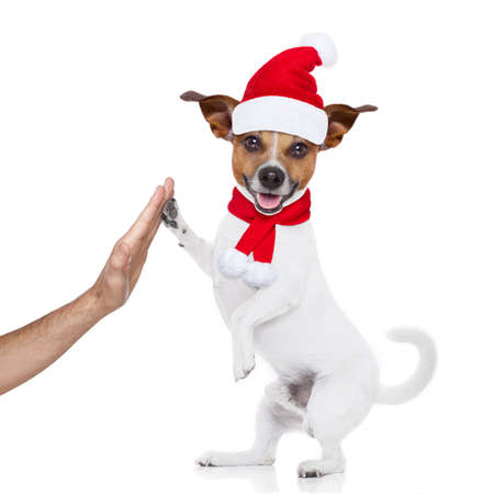 jack russell dog with red  christmas santa claus hat  for xmas holidays , high five with owner hand