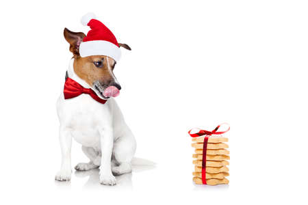 hungry jack russell dog with red  christmas santa claus hat  for xmas holidays and a gift of cookies or treats