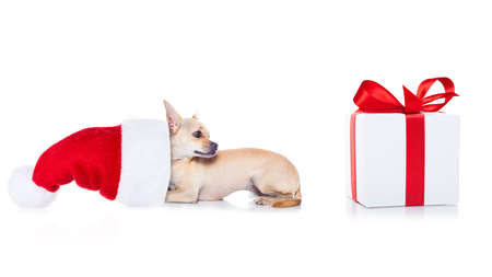christmas celebration: chihuahua  dog with red  christmas santa claus hat  for xmas holidays and a gift or present box