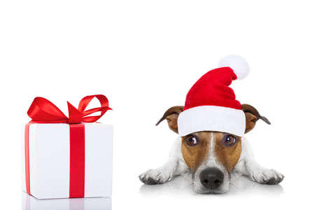 russell: jack russell dog with red  christmas santa claus hat  for xmas holidays and a gift or present box