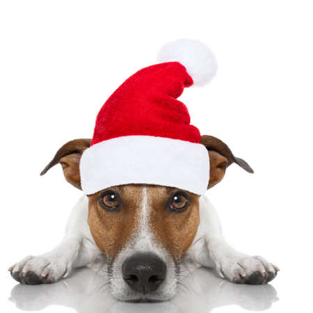 russell: jack russell dog looking and staring  at you ,with red  christmas santa claus hat  for xmas holidays Stock Photo