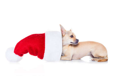 cute dog: chihuahua  dog with red  christmas santa claus hat  for xmas holidays