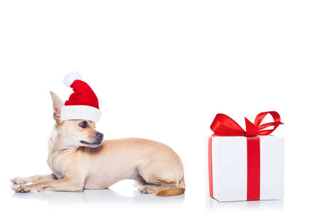shiny background: chihuahua  dog with red  christmas santa claus hat  for xmas holidays and a gift or present box