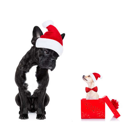 christmas celebration: chihuahua and french bulldog santa claus hat dogs, attracted and looking to each other in love, isolated on white background on xmas holidays