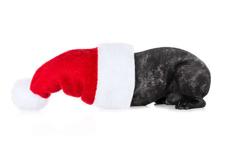 christmas celebration: french bulldog dog with red  christmas santa claus hat  for xmas holidays hiding  inside the good , isolated on white background