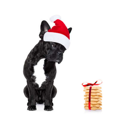 christmas backgrounds: hungry french bulldog dog with red  christmas santa claus hat  for xmas holidays and a gift of cookies or treats