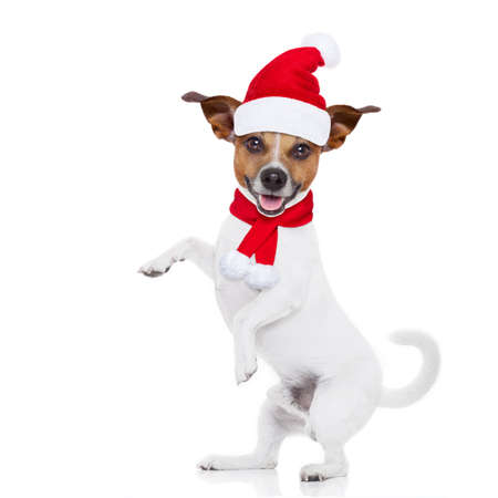 jack russell: jack russell dog with red  christmas santa claus hat  for xmas holidays isolated on white background