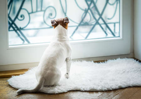 the past: Jack russell dog missing and thinking about the past and future s , watching out of the window Stock Photo