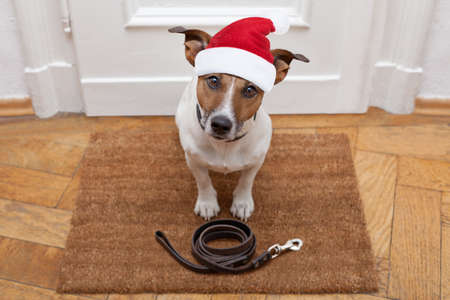 go for: jack russell dog  waiting a the door at home with leather leash, ready to go for a walk with his owner for christmas ot xmas holidays with red santa claus hat