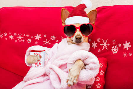 body grooming: chihuahua dog relaxing  and lying, in   spa wellness center ,wearing a  bathrobe and funny sunglasses, drinking mug cup of coffee or tea