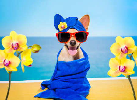 chihuahua dog relaxing  with blue towel in  spa wellness center at the beach