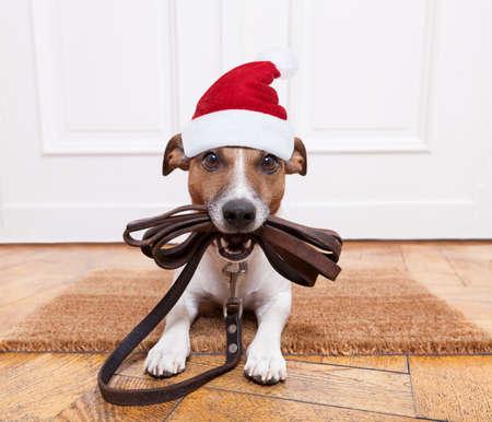 Jack Russell perro esperando una la puerta de casa con correa de cuero, listo para ir a dar un paseo con su dueño para la Navidad vacaciones de Navidad ot con el sombrero rojo de Papá Noel Foto de archivo