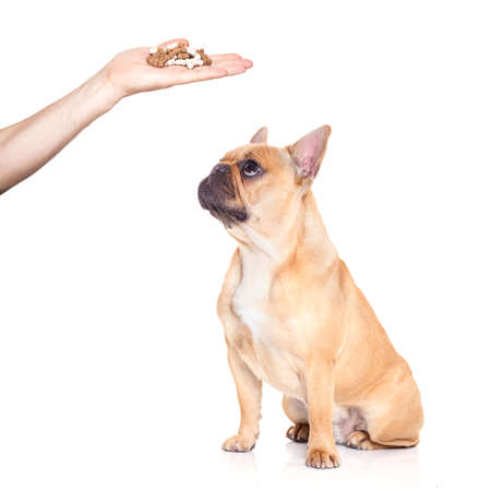 hungry  french bulldog dog thinking and hoping for a treat or sausage by owner with hand,  isolated on white background