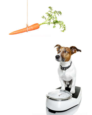 finger food: owner punishing dog with carrot  for overweight, and to loose weight , standing on a scale, isolated on white background Stock Photo