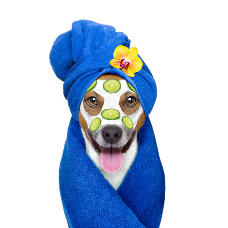 salon and spa: jack russell dog relaxing  with beauty mask in  spa wellness center , moisturizing cream mask and cucumber , isolated on white background
