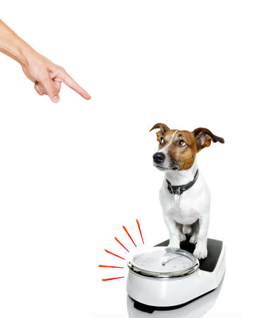 owner punishing dog with guilty conscience pointing with finger for overweight, and to loose weight , standing on a scale, isolated on white background