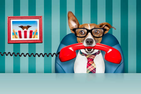 hear business call: office businessman jack russell  dog  as  boss and chef , busy and burnout , sitting on leather chair and desk, telephones hanging around Stock Photo