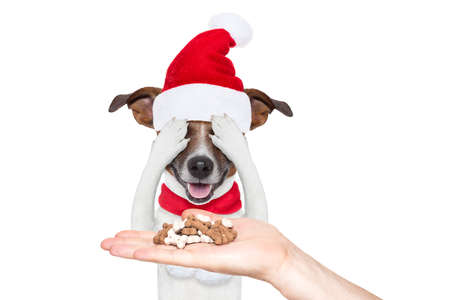 jack russell dog with red christmas santa claus hat for xmas holiday hiding with closed eyes ,excited and surprised for the treats