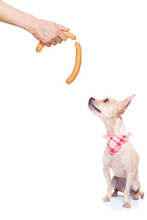 hand: hungry chihuahua dog thinking and hoping for a treat or sausage by owner with hand,  isolated on white background Stock Photo