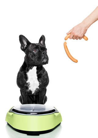 conscience: owner punishing dog with sausage for overweight, and to loose weight , standing on a scale, isolated on white background
