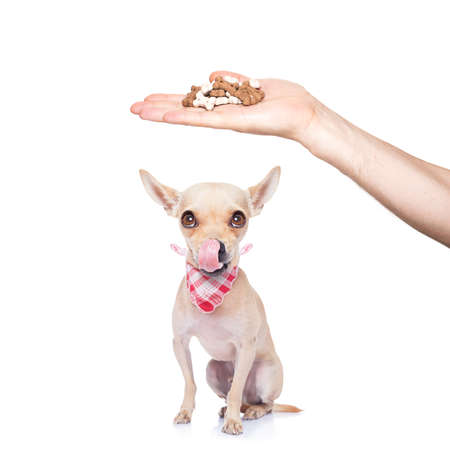 hungry chihuahua dog thinking and hoping for a treat by owner with hand,  isolated on white background Stock Photo