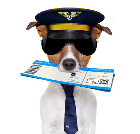 funny glasses: jack russell airline pilot or  flight attendant dog , with check in boarding pass ticket in mouth , isolated on white background