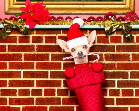 happy holidays: chihuahua dog  inside xmas stockings or socks, for christmas holidays hanging at the wall of chimney , empty negative space to the side