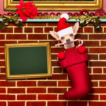 xmas background: chihuahua dog  inside xmas stockings or socks, for christmas holidays hanging at the wall of chimney , placard or blackboard banner  to the side