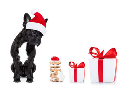 christmas celebration: hungry french bulldog dog with red  christmas santa claus hat  for xmas holidays and a gift of cookies or treats isolated on white