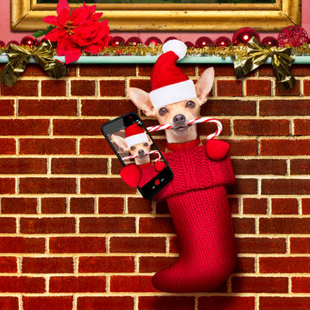 photo: chihuahua dog  inside xmas stockings or socks, for christmas holidays hanging at the wall of chimney , taking a selfie wit smartphone