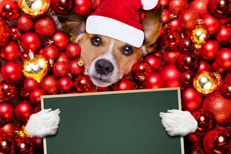 russell: Jack russell terrier  dog with santa claus hat for christmas holidays resting on a xmas balls background holding a blank empty banner or placard