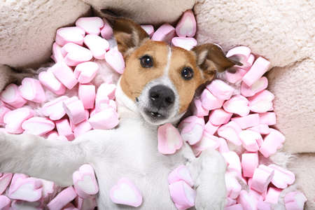 Jack russell  dog looking and staring at you   ,while lying on bed  taking a selfie , in love, marshmallows as a background Stock Photo
