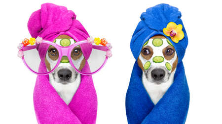 jack russell couple of dogs relaxing  with beauty mask in  spa wellness center , moisturizing cream mask and cucumber , isolated on white background