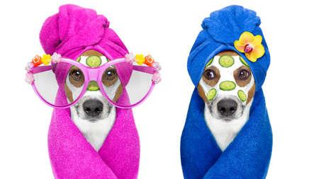 jack russell paar honden ontspannen met schoonheid masker in de spa wellness-centrum, hydraterende crème masker en komkommer, op een witte achtergrond