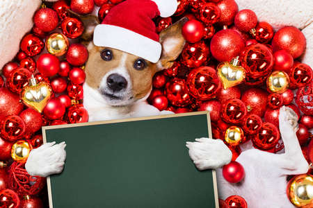 white background: Jack russell terrier  dog with santa claus hat for christmas holidays resting on a xmas balls background holding a blank empty banner or placard