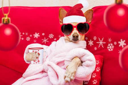 perro chihuahua que se relaja y la mentira, en el centro de spa, que llevaba una bata de baño y gafas de sol divertidas, bebiendo taza de la taza de café o té Foto de archivo
