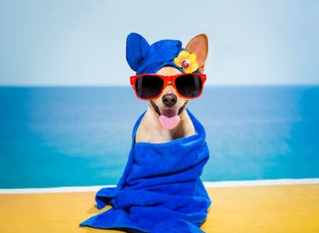 Chihuahua pes relaxace s modrou ručník v lázeňském wellness centru na pláži