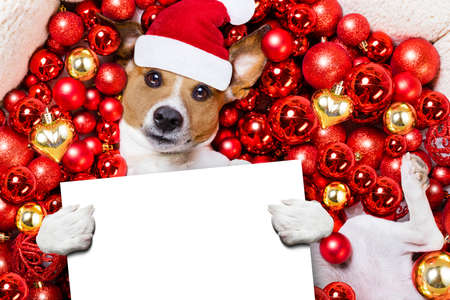 white background: jack russell terrier  dog with santa claus hat for christmas holidays resting on a xmas balls background, holding a blank empty banner or placard