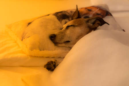 overslept: jack russell dog  sleeping under the blanket in bed the  bedroom, ill ,sick or tired, sheet covering its body (LOW LIGHT PHOTO)