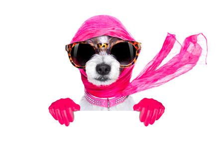 perro fresco de moda de la diva de lujo elegante con gafas de sol divertidas, bufanda y collar, aislados en fondo blanco, detrás de la bandera o pancarta