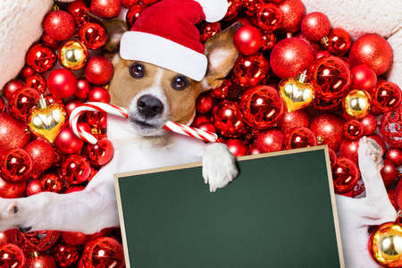 jack russell terrier  dog with santa claus hat for christmas holidays resting on a xmas balls background, holding a blank empty banner or placard