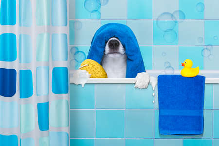 dog grooming: french bulldog dog in a bathtub not so amused about that , with yellow plastic duck and towel,wearing a bathing cap Stock Photo