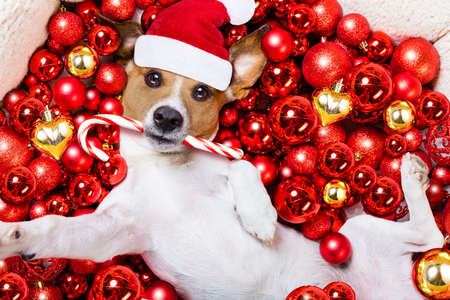 white background: jack russell terrier  dog with santa claus hat for christmas holidays resting on a xmas balls background, taking a selfie