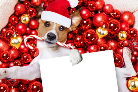 christmas celebration: jack russell terrier  dog with santa claus hat for christmas holidays resting on a xmas balls background, holding a blank empty banner or placard