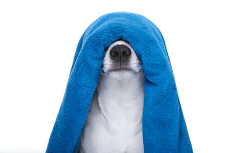 retreats: jack russell dog in a bathtub not so amused about that , with blue  towel , isolated on white background, having a spa or wellness treatment
