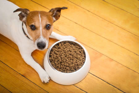 hungry  jack russell  dog behind food bowl   isolated wood background at home and kitchen Archivio Fotografico