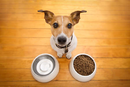 hungry  jack russell  dog behind food bowl and water bowl, isolated wood background at home and kitchen