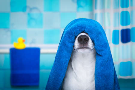 jack russell dog in a bathtub not so amused about that , with blue  towel, having a spa or wellness treatment, in the bath or bathroom Stock Photo