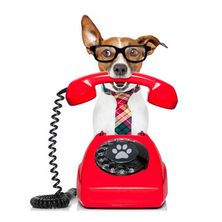 Jack russell dog with glasses as secretary or operator with red old  dial telephone or retro classic phone Standard-Bild